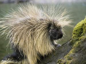 Detail of Porcupine Standing on Moss-Covered Tree Trunk by Jeff Foott