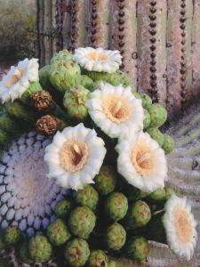 Detail of White and Peach Blooms on Saguaro Cactus by Jeff Foott