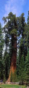 Giant Sequoia and General Sherman Tree, World's Largest Living Thing, Grow Next to Pole Fence by Jeff Foott