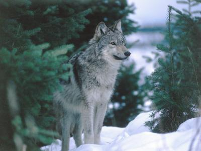 Gray Wolf Stands in Snow Near Pine Trees