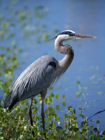 Great Blue Heron (Ardea Herodias) Standing at Water's Edge, Florida, Usa