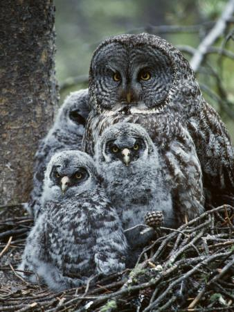 Great Grey Owl Female and Chicks at Nest
