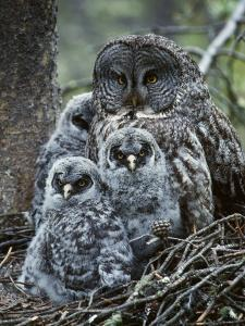 Great Grey Owl Female and Chicks at Nest by Jeff Foott