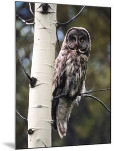 Great Grey Owl Perched in an Aspen Tree in the Daylight by Jeff Foott