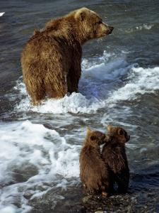 Grizzly Bear, Ursus Arctos, Cubs, Mcneil River, Alaska, Usa by Jeff Foott