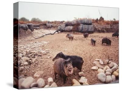 Group of Collared Peccary/Javelina Standing in Desert