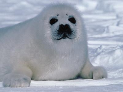 Harp Seal Pup Lays in Snow by Jeff Foott