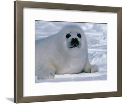 Harp Seal Pup Lays in Snow