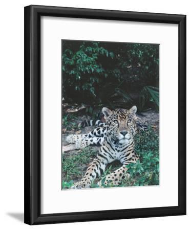 Jaguar Lies on Ground in Tropical Rainforest