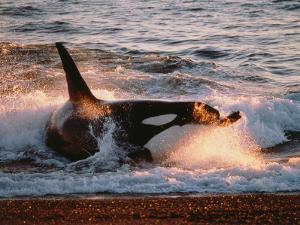 Killer Whale Washed Up on Shore by Jeff Foott