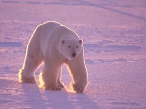 Male Polar Bear in the Morning Light by Jeff Foott