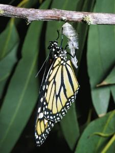 Monarch Butterfly Has Just Emerged from its Chrysalis by Jeff Foott