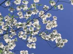 Pacific Dogwood Blossoms under a Clear Blue Sky in Spring by Jeff Foott