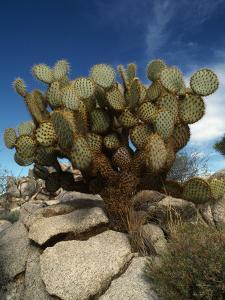 Pancake Cactus, Joshua Tree Nm by Jeff Foott