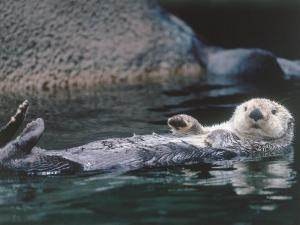 Sea Otter Pup Floats on its Back by Jeff Foott
