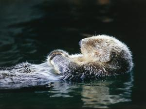 Sea otter sleeps while floating on back by Jeff Foott