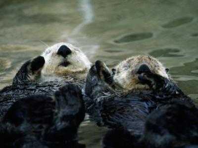 Sea Otters Lay on Back in Water by Jeff Foott