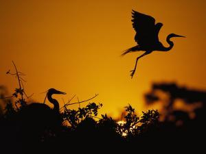 Silhouette of Great Blue Heron on Ground and Great Egret in Flight at Sunset by Jeff Foott