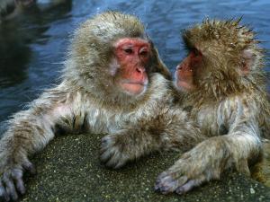 Snow Monkeys/Japanese Macaques Soak in Hot Spring, Lean on Rock by Jeff Foott