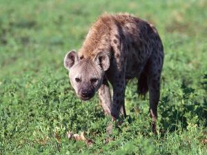 Spotted Hyena Eating by Jeff Foott