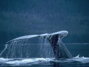 Tail and fluke of humpback whale diving, Southeast Alaska by Jeff Foott