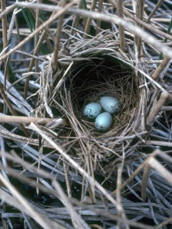 The Nest of a Red-Winged Blackbird with Three Light Blue Eggs by Jeff Foott
