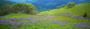 Usa, California, Oregon, Hills with Lupine and Oak by Jeff Foott