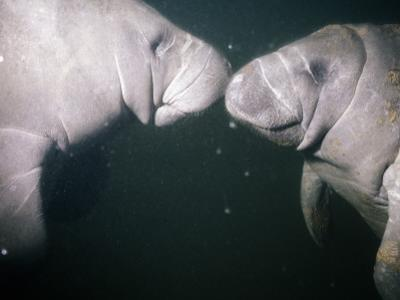 West Indian Manatees (Trichechus Manatus) by Jeff Foott