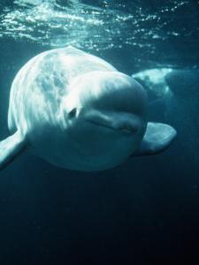 White Beluga Whale by Jeff Foott