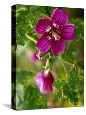 Northern Island Tree Mallow in Bloom, CA