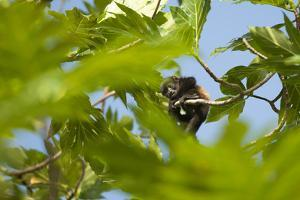 A Baby Mantled-Howler Monkey Rests in a Tree Branch by Jeff Mauritzen