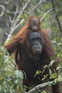 A Female Bornean Orangutan With Young Riding On Its Back In The Forests Of Indonesia by Jeff Mauritzen