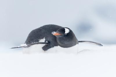 A Gentoo Penguin, Pygoscelis Papua, Lays in Snow on Ronge Island in Antarctica by Jeff Mauritzen