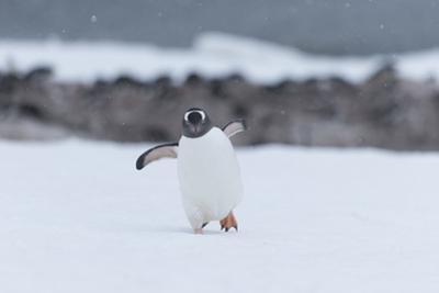 A Gentoo Penguin, Pygoscelis Papua, Walks Through Snow on Neko Harbour in Antarctica by Jeff Mauritzen