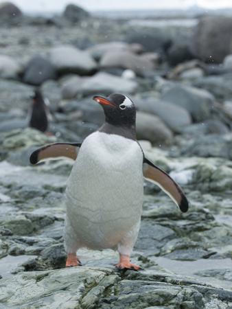 A Gentoo Penuin Standing on a Rocky Shoreline on Ronge Island in Antarctica by Jeff Mauritzen
