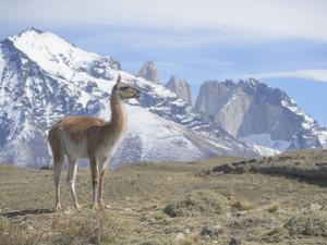 A Guanaco, Lama Guanicoe, Stands on a Hillside in Torres Del Paine National Park by Jeff Mauritzen