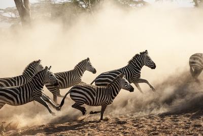 A Herd of Running Zebra in the Serengeti