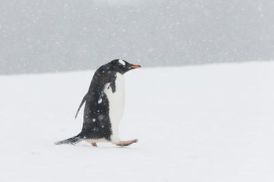 A Lone Gentoo Penguin, Pygoscelis Papua, Walks Alone in the Snow, Antarctica by Jeff Mauritzen