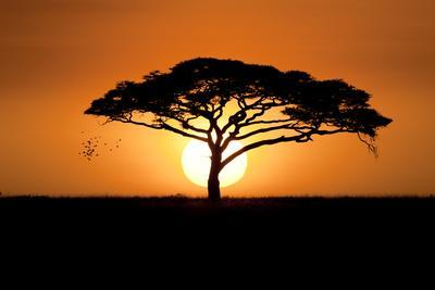 A Silhouetted Acacia Tree, Acacia Species, at Sunset