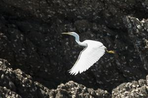 A White Western Reef Heron Taking Off from a Sandstone Escarpment Covered with Oysters by Jeff Mauritzen