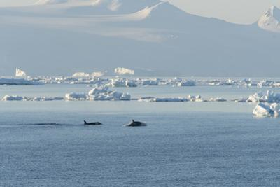 Killer Whales Swimming in Antarctic Sound and the Weddell Sea Near Antarctica by Jeff Mauritzen