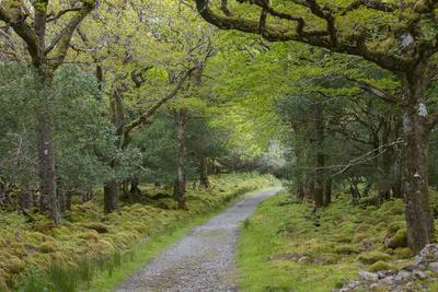 Path Through Tomies Wood in Killarney National Park, County Kerry, Ireland
