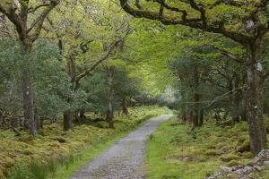 Path Through Tomies Wood in Killarney National Park, County Kerry, Ireland by Jeff Mauritzen