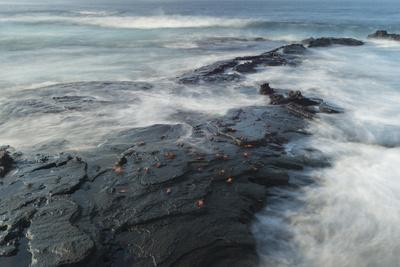 Sally Lightfoot Crabs Cling to the Volcanic Coastline of Santiago Island
