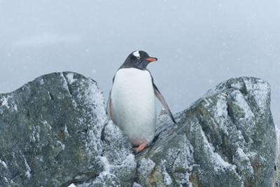 Snow Falls on a Gentoo Penguin, Pygoscelis Papua, at Ronge Island in Antarctica by Jeff Mauritzen