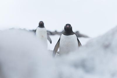 Two Gentoo Penguins, Pygoscelis Papua, in Neko Harbour, Antarctica by Jeff Mauritzen