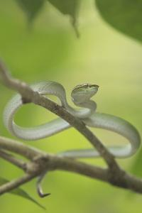 Wagler's Pit Viper Rests In A Tree In Bako National Park, On The Island Of Borneo by Jeff Mauritzen