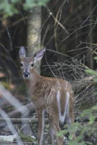 Deer by Jeff Rasche