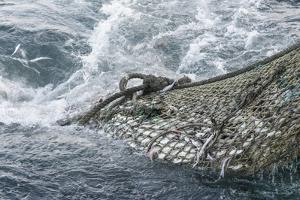 Dragger Net Full of Haddock (Melanogrammus Aeglefinus) by Jeff Rotman