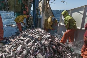 Fishermen Sorting Haddock (Melanogrammus Aeglefinus) by Jeff Rotman